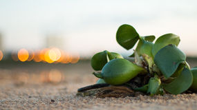 Water Hyacinth on Sand by Rivers Edge Royalty Free Stock Photos