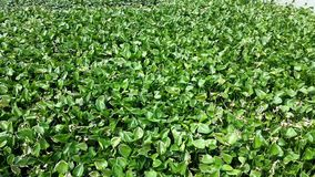 Water hyacinth shot from above on a river in Thailand. Aquatic plant, water hyacinth floating on a Thai river stock video