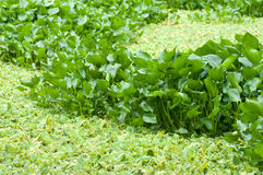 Water hyacinth in the swamp Stock Photo