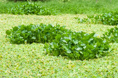 Water hyacinth in the swamp Royalty Free Stock Images