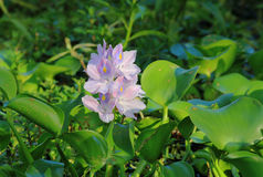 Water Hyacinth in Swamp Stock Photos