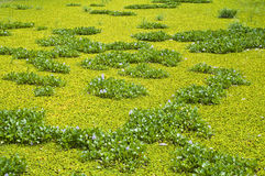 Water hyacinth and water lettuce. Royalty Free Stock Photos