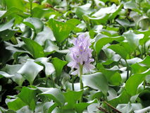 Water Hyacinths growing in the backwaters of Kerala, India Royalty Free Stock Photos