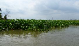 Water hyacinths in the Mekong river delta Stock Photo