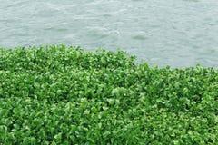 Water hydrophytes Stock Fotografie