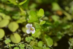 Water hyssop. Flower - Latin name - Bacopa monnieri royalty free stock photos