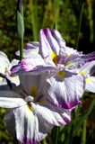 Water Iris. A water iris grows in a small pond in San Francisco's Golden Gate Park Royalty Free Stock Photos