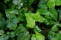 Water on ivy Royalty Free Stock Image
