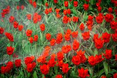 Water jets over red tulip flowers Stock Photography