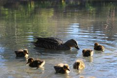 Water, Lake, Duck, Duck Babies Royalty Free Stock Images