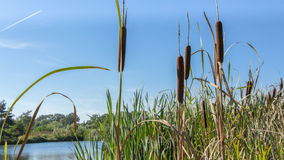 Water landscape. Dutch water landscape with bulrush in the foreground Stock Photography