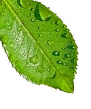 Water on leaf Stock Photography
