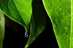 Water leaf Stock Images