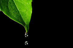 Water leaf Stock Photography