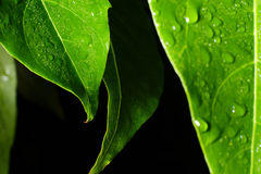 Water leaf Royalty Free Stock Images