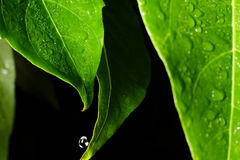 Water leaf Stock Photos