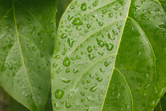 Water leaf Royalty Free Stock Photography