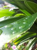 Water on Leaf royalty free stock photography