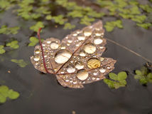 Water on leaf on water. Water droplets sit on a floating leaf in a pond with green weed growing nearby Royalty Free Stock Photo