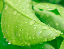 Water on the leaves Stock Image