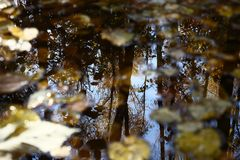 Reflexion of autumn. In water leaves lie and trees of autumn forest are reflected Stock Images