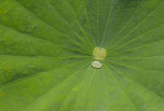 Water on the leaves of the lotus. stock images