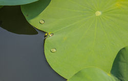 Water on the leaves of the lotus. stock photography