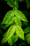 Water on the leaves after the rain. Stock Image