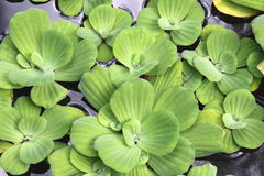 Water Lettuce Stock Image