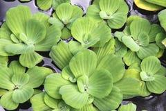 Water Lettuce stock image