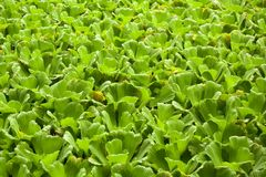 Water lettuce Royalty Free Stock Photos