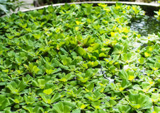 Water lettuce. Green water lettuce field in the basin Stock Image