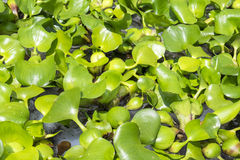 Water Lettuce Aquatic Plant Stock Image