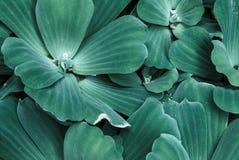Water Lettuce Stock Photo