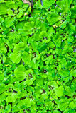 The Water Lettuce Field Stock Photos