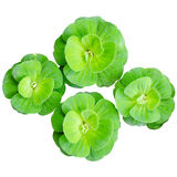 Water lettuce floating Stock Photos