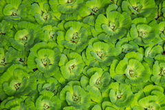 Water lettuce. And green background Royalty Free Stock Images