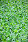 Water lettuce is often called water cabbage Stock Images