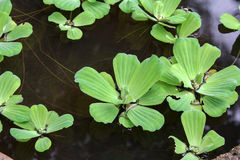 Water lettuce (Pistia stratiotes), aquatic plant. Royalty Free Stock Photography