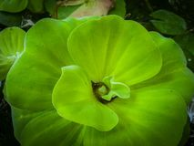 The Water Lettuce, Pistia stratiotes Linnaeus Areceae. floating water plant close up shot royalty free stock images