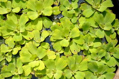 Water lettuce. The scientific name Pistia stratiotes L.common name Water lettuce in nature Royalty Free Stock Photo