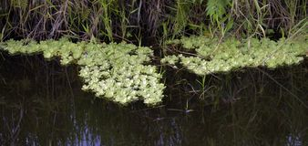 Water lettuce in the stream of calm waters. Brazil stock images