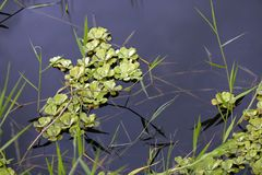 Water lettuce in the stream of calm waters. Brazil royalty free stock photo