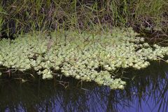 Water lettuce in the stream of calm waters. Brazil royalty free stock image