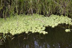 Water lettuce in the stream of calm waters. Brazil stock photos