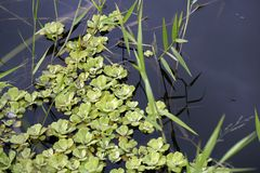 Water lettuce in the stream of calm waters. Brazil royalty free stock images