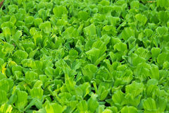 Water lettuce. Used for wastewater treatment Royalty Free Stock Photo