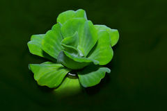 Water Lettuce in water Royalty Free Stock Image