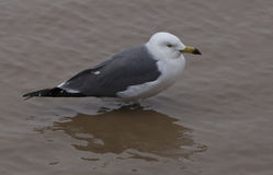 Water level rising, seabirds stood motionless in the water. The tide rose, white seabird stood motionless in turbid water Royalty Free Stock Photos