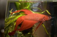 Water life fish. In aquarium Royalty Free Stock Photography